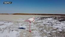 ροζ φλαμίνγκο στην παγωμένη λίμνη Καρακόλ