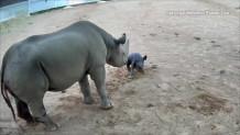 θηλυκός ρινόκερος κάνει τα πρώτα του βήματα