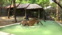 τίγρεις