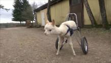 πρόβατο με αναπηρία