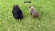 φιλία χιμπατζή με αρκούδα