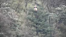 panda κυνηγιούνται