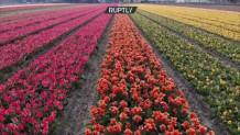Ολλανδία τουλίπες