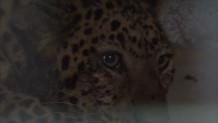 λεοπάρδαλεις