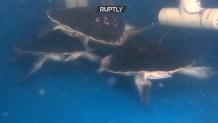 34 χελώνες επέστρεψαν στον Ατλαντικό Ωκεανό
