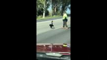 μαύρος κύκνος βολτάρει σε αυτοκινητόδρομο
