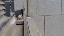 γεράκι εγκαταλείπει τη φωλιά του