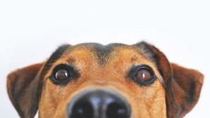 Σκύλος , ινδια