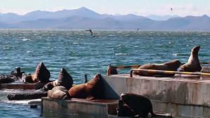 Θαλάσσιοι Λέοντες σε ρωσικό λιμάνι