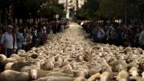 Πρόβατα σε δρόμους της Ισπανίας