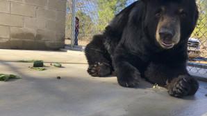 μαύρη αρκούδα