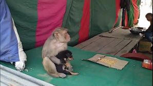 Μαϊμού αγκαλιάζει κουταβάκι