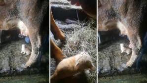 Πεινασμένο γατάκι πίνει γάλα απευθείας από την αγελάδα