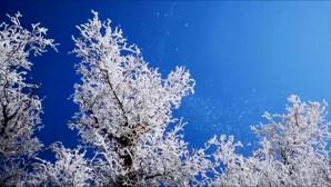 λευκές κερασιές