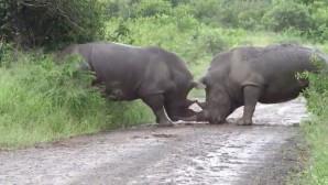 ρινόκεροι