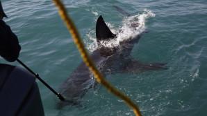 Λευκός καρχαρίας