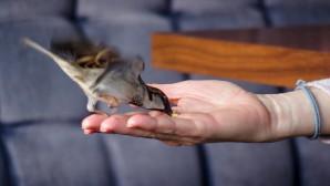 Σπουργιτάκι τρώει από ανθρώπινο χέρι