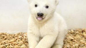 Πολικό αρκουδάκι