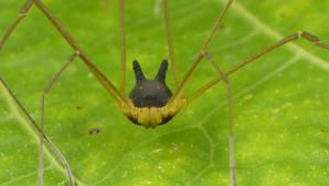 Η αράχνη Bunny Harvestman