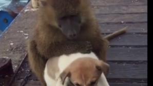 μπαμπουίνος χαϊδεύει σκύλο