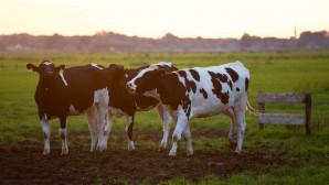 γερμανιδα κτηνοτροφος αγελαδα