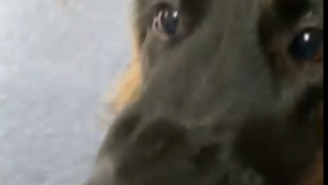 τυρί σκύλος