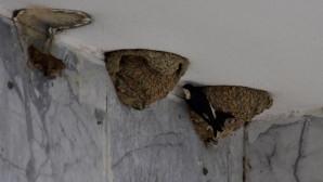 Χελιδόνια φτιάχνουν φωλιές