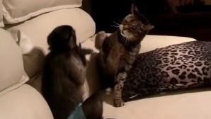 Μαϊμού και γάτα