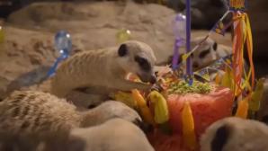 σουρικάτες πρώτα γενέθλια