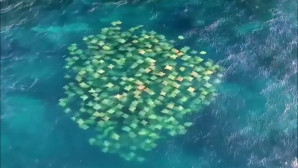 Εικόνα από drone με το κοπάδι από σαλάχια