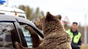 πεινασμένη αρκούδα
