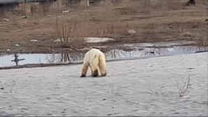 σιβηρια πολικη αρκουδα