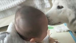 το μωρό και το χάσκι