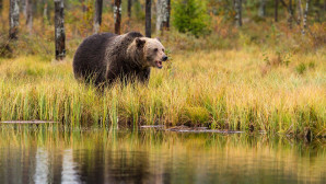 αρκούδα