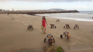 σκυλιά με κινητικά προβλήματα τρέχουν στην παραλία