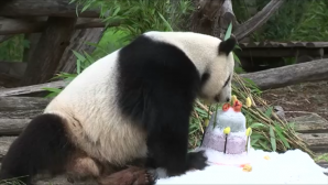 panda γενέθλια