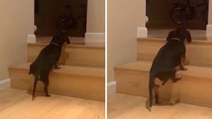 σκύλος προσπαθεί να ανέβει σκάλα