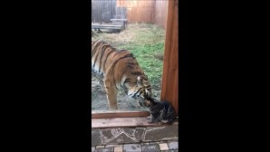 Η τίγρης και το γατάκι