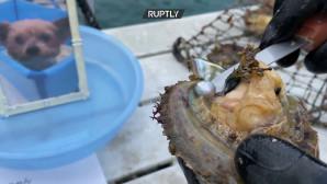 Μαργαριτάρια από λείψανα σκύλων στην Ιαπωνία