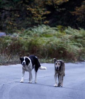 Σκύλος κοιτά μαθήτρια που περπατά σε δάσος