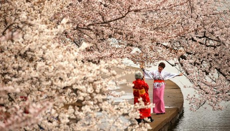 Χορεύοντας κάτω από τις ανθισμένες κερασιές/ Kevin Lamarque, Reuters