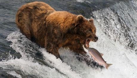 Ώρα για φαγητό! Αρκούδα λίγο πριν πιάσει το λαχταριστό μεζέ