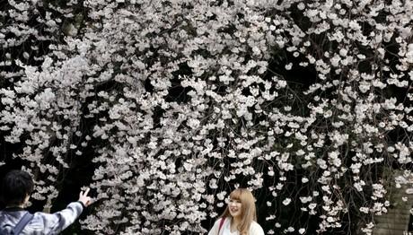 Ανθισμένες κερασιές στην Ιαπωνία