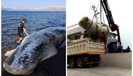 Νεκρή φάλαινα ξεβράστηκε στη Σαντορίνη