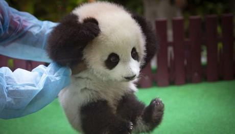 Μωρό Panda στη Μαλαισία κλέβει την παράσταση