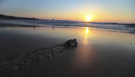 Θαλάσσιο χελωνάκι