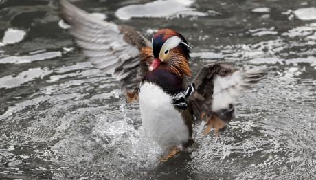Η πάπια μανδαρίνος που βρήκε καταφύγιο στο Central Park