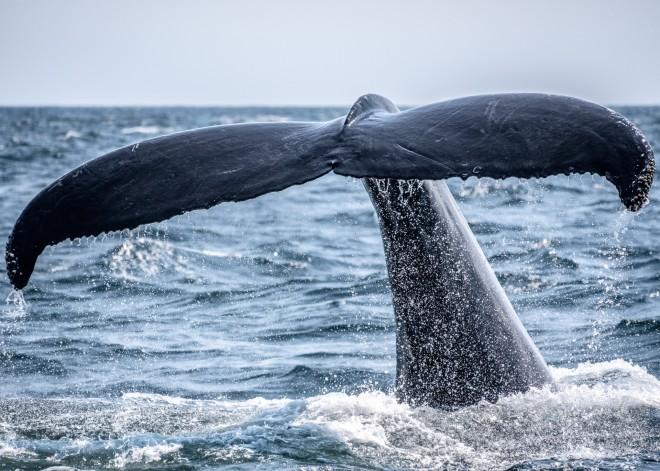 Η γλώσσα μιας φάλαινας ζυγίζει περίπου όσο ένας ελέφαντας