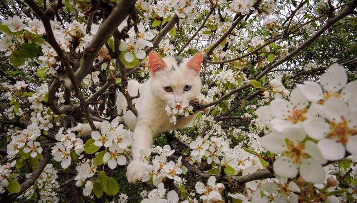 Γάτες σκαρφαλώνουν στα ανθισμένα δέντρα