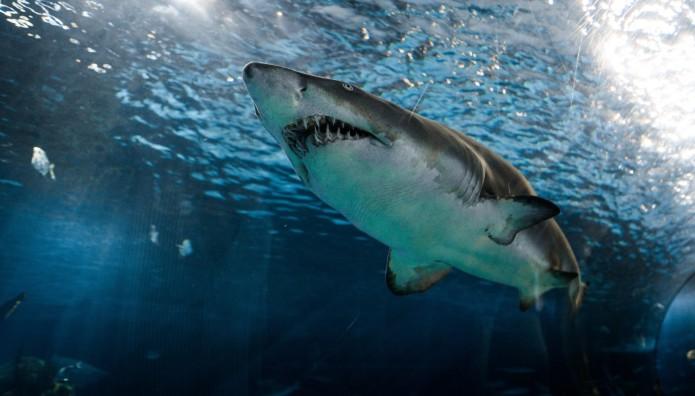 Μαδαγασκάρη καρχαρίας